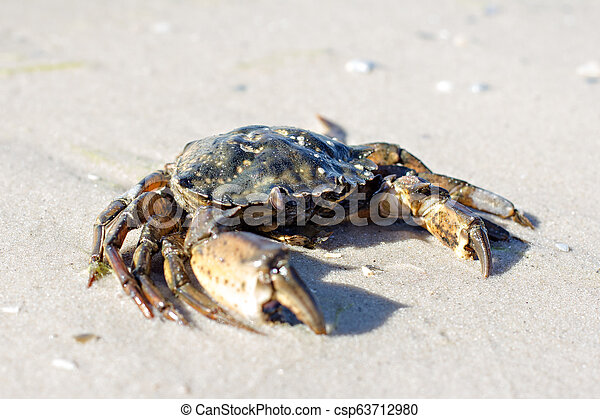 Cangrejo marino en la orilla. - csp63712980