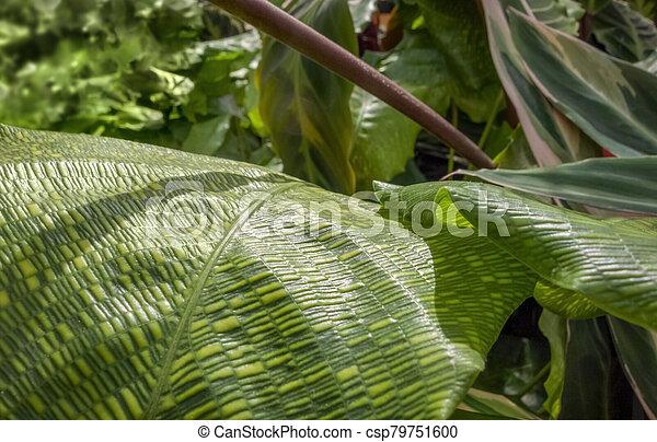 maranta, hojas - csp79751600
