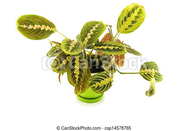 Maranta houseplant on a white background - csp14578765
