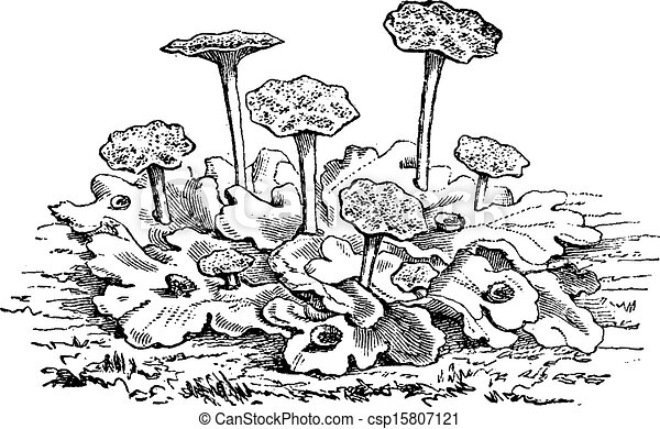Marchantia polymorpha male or common liverwort  or umbrella liverwort, vintage engraved illustration. Usual Medicine Dictionary - Paul Labarthe - 1885. - csp15807121