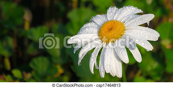 margherita, rugiada, fiore, mattina - csp17464813