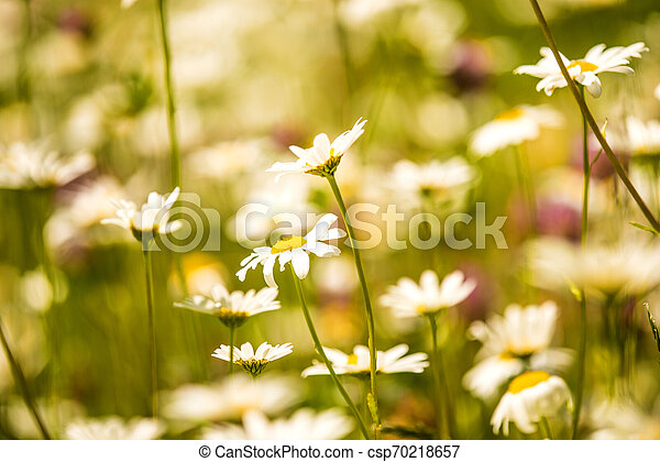 marguerite, flowers in a meadow in spring in Germany - csp70218657