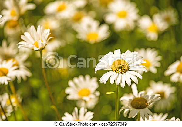 marguerite, flowers in a meadow in spring in Germany - csp72537049