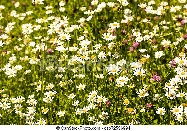 marguerite, flowers in a meadow in spring in Germany - csp72536994