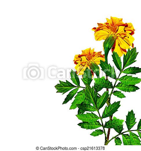 Marigold flowers isolated on white background marigold flowers isolated on white background csp21613378 mightylinksfo