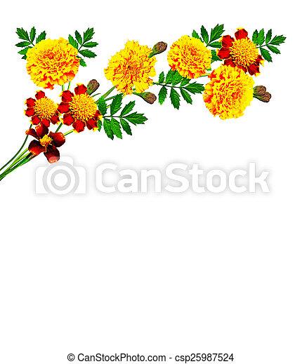 Marigold flowers isolated on white background marigold flowers isolated on white background csp25987524 mightylinksfo