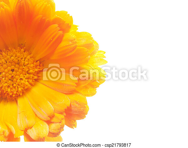 Marigold flowers on a white background marigold flowers on a white background csp21793817 mightylinksfo