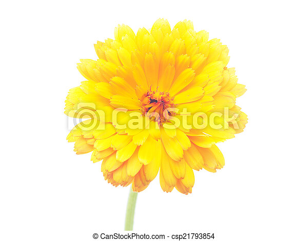 Marigold flowers on a white background marigold flowers on a white background csp21793854 mightylinksfo