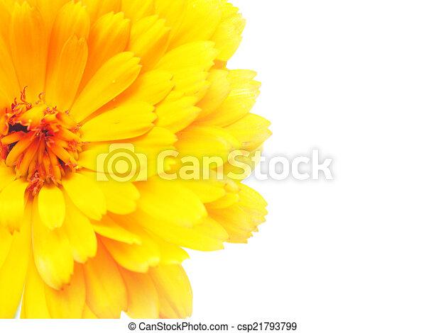 Marigold flowers on a white background stock photographs search marigold flowers on a white background csp21793799 mightylinksfo