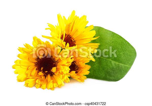 Marigold flowers or calendula flower on white closeup calendula marigold flowers or calendula flower on white closeup calendula officinalis mightylinksfo