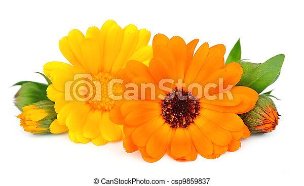 Marigold flowers on the white background marigold flowers csp9859837 mightylinksfo