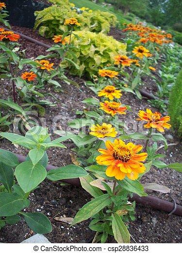 Marigold Flowers - csp28836433