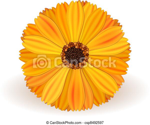 Marigold yellow vector marigold flower realistic on white background marigold csp8492597 mightylinksfo