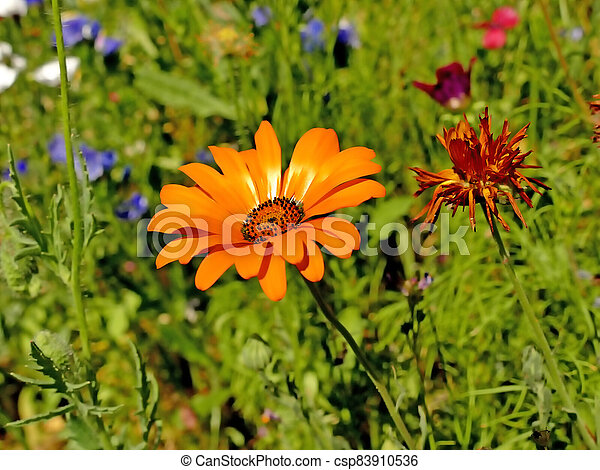 marigold in a meadow with a lot of colorful flowers - csp83910536