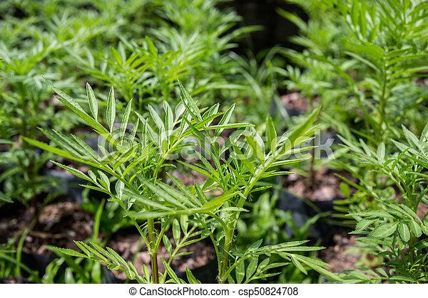 Marigold Seedlings