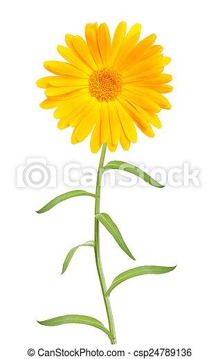 Calendula marigold flowers with leaves isolated on white marigold csp24789136 mightylinksfo