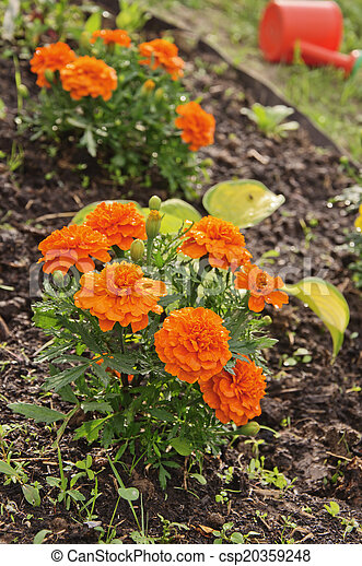 marigolds on the flower bed - csp20359248