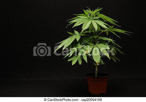 marijuana - csp20054109