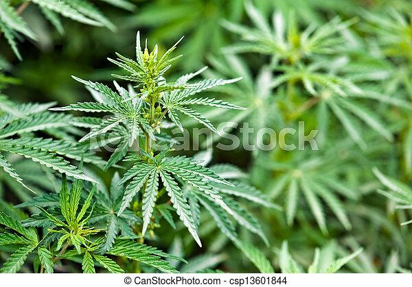 marijuana - csp13601844