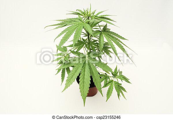 marijuana - csp23155246