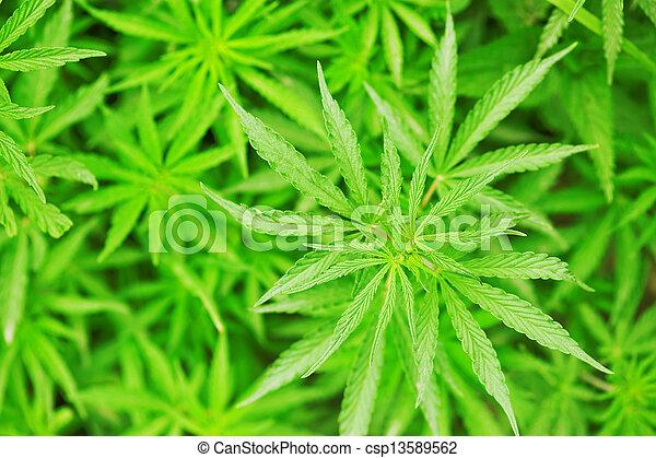 marijuana - csp13589562