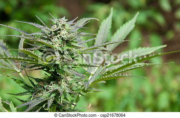 marijuana, broto - csp21678064