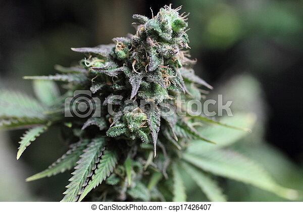 marijuana, broto - csp17426407