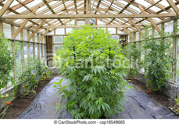 Marijuana ( cannabis), hemp plant growing inside of the green house in private garden of Washington State. Legal Medical marijuana law in US. Grower uses leaves to make juice for health support. - csp18548665
