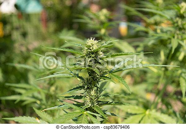 marijuana, cannabis, planta florescendo, verde, broto, florescer - csp83679406