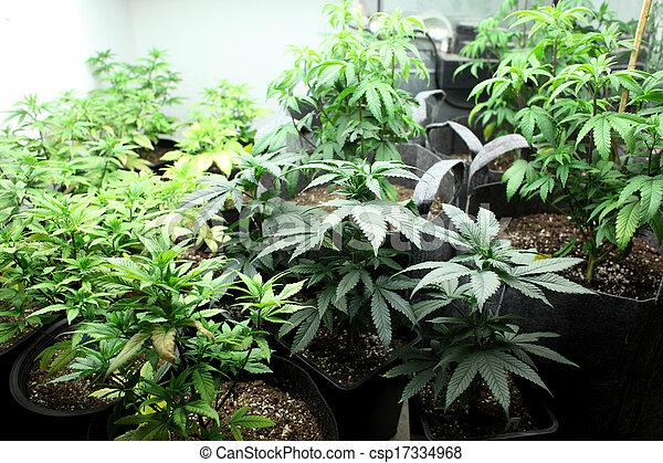 marijuana, colheita - csp17334968