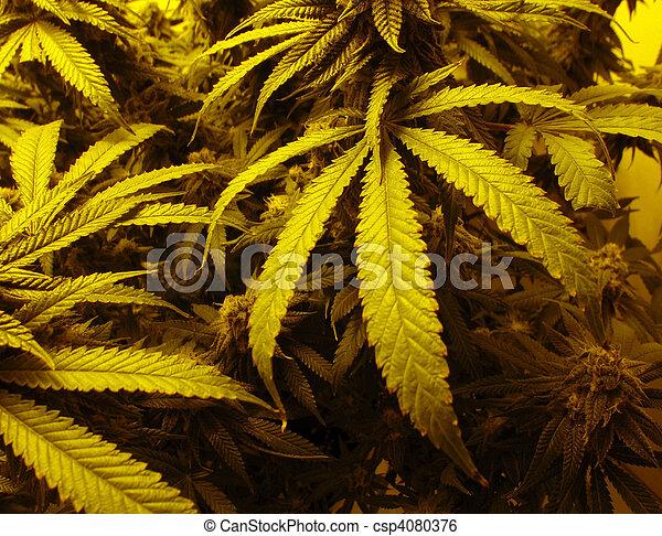 marijuana, folheia - csp4080376