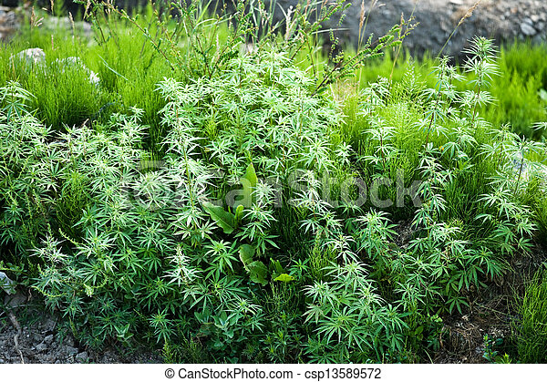 marijuana - csp13589572