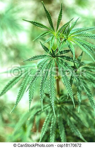 marijuana - csp18170672