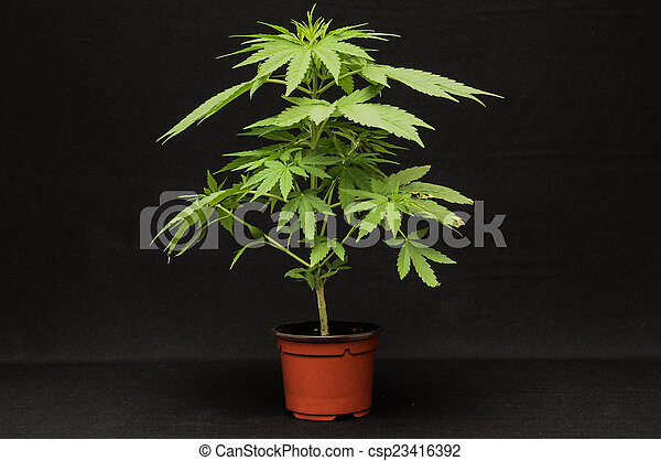 marijuana - csp23416392