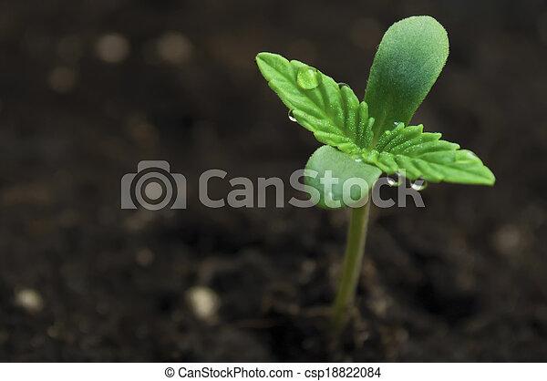 marijuana, semeando - csp18822084