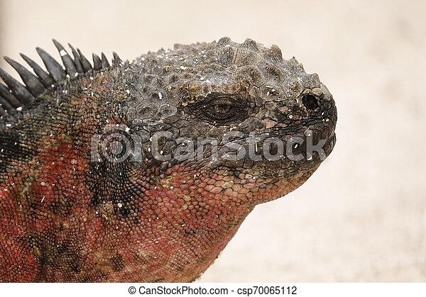 El primer plano de una iguana marina - csp70065112
