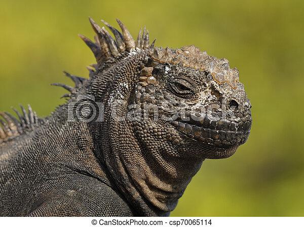 El primer plano de una iguana marina - csp70065114