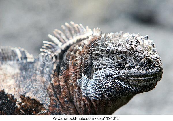 Marine Iguana Close Up  - csp1194315