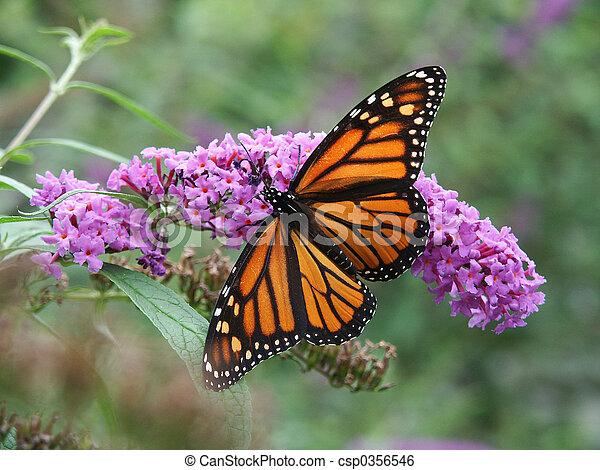 mariposa, monarca, flores, salvaje - csp0356546