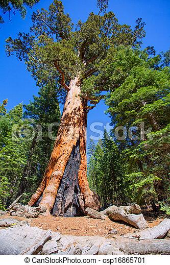 Sequoias en Mariposa Grove en el parque nacional de Yosemite - csp16865701