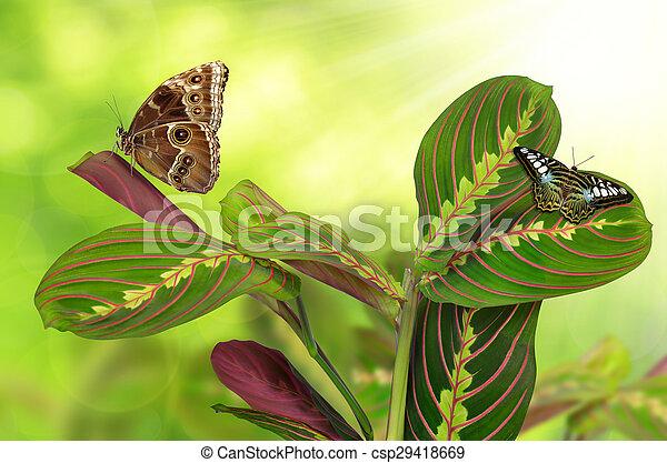 Maranta tricolor con mariposas - csp29418669