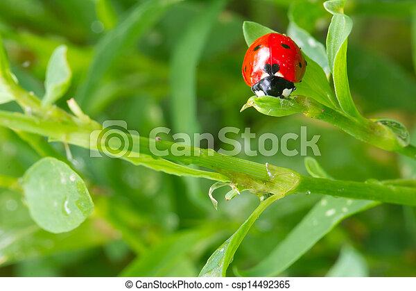 mariquita, nature., pasto o césped, macro - csp14492365