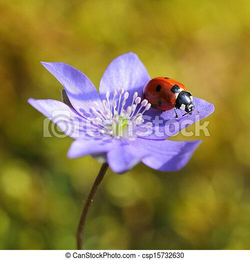 mariquita, sola flor, primavera, violeta - csp15732630