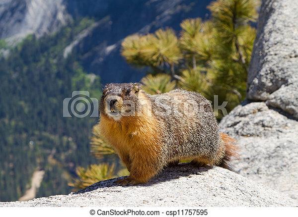 marmot, 부풀게 하게 된다, 황색 - csp11757595