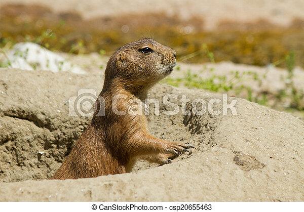 marmot in the den - csp20655463