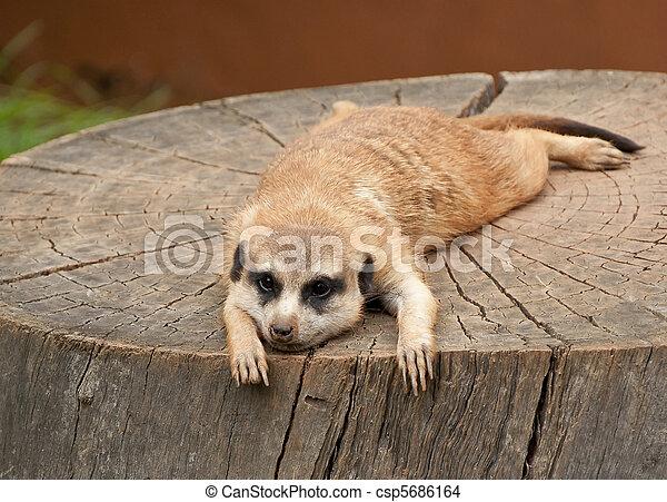 Marmot on a tree-stump - csp5686164