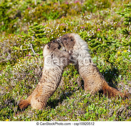 Marmot - csp10920512