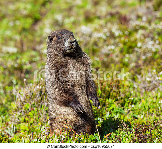 Marmot - csp10955671