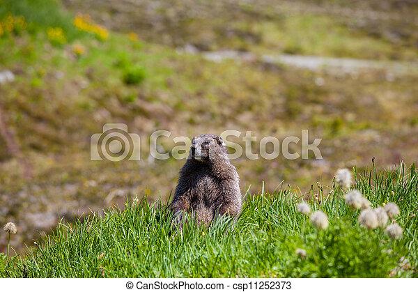 Marmot - csp11252373