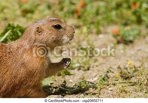 Marmot - csp20655711
